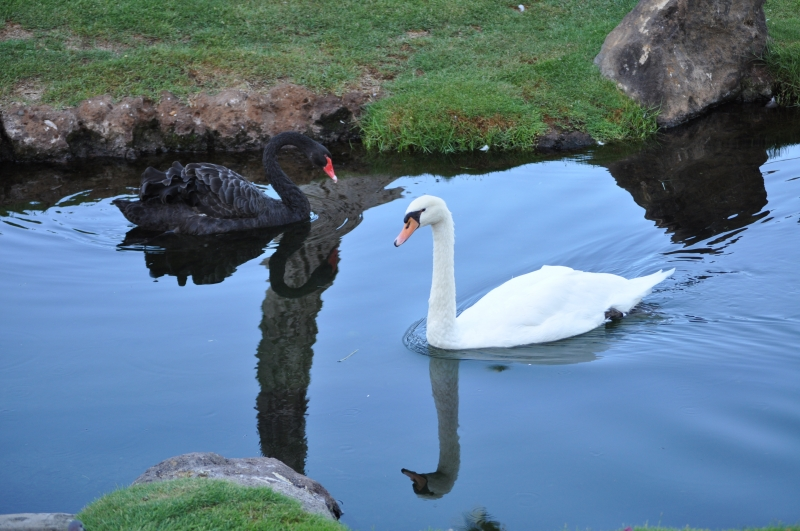 Two Swans Meet