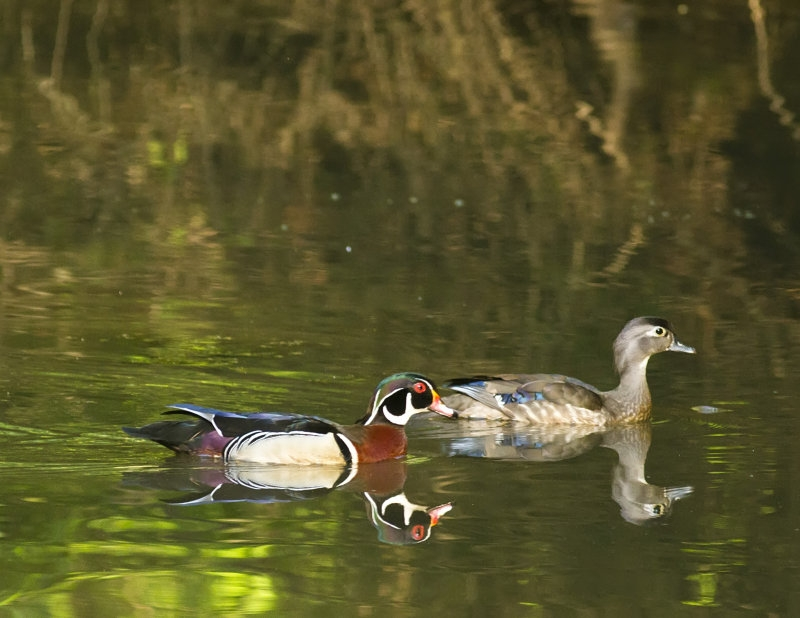 Reflections Of A Wood Duck Pair