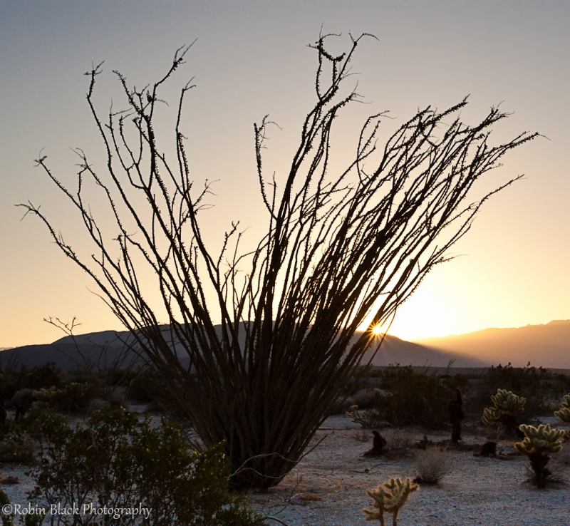 Ocotillo Sunset, Anza Borrego