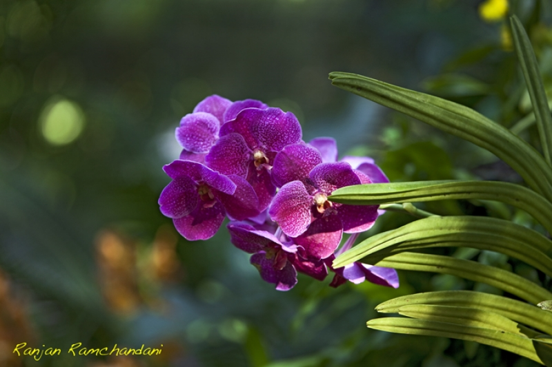 The Singapore Orchid
