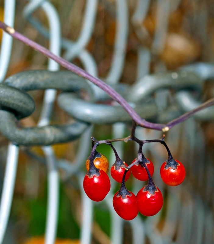 Berries On Chain