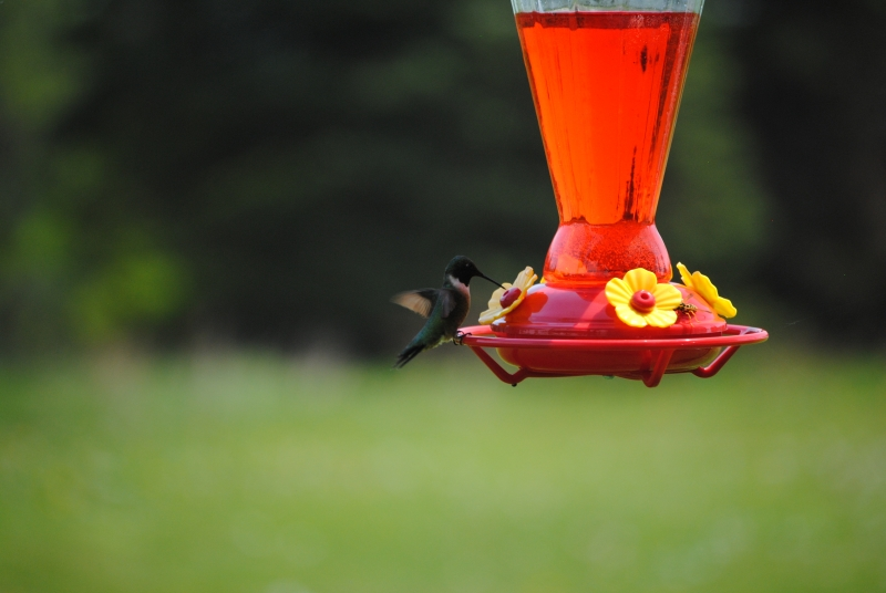 Hummingbird Getting Ready To Drink