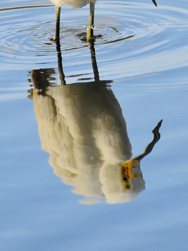 Triple Eyed Egret