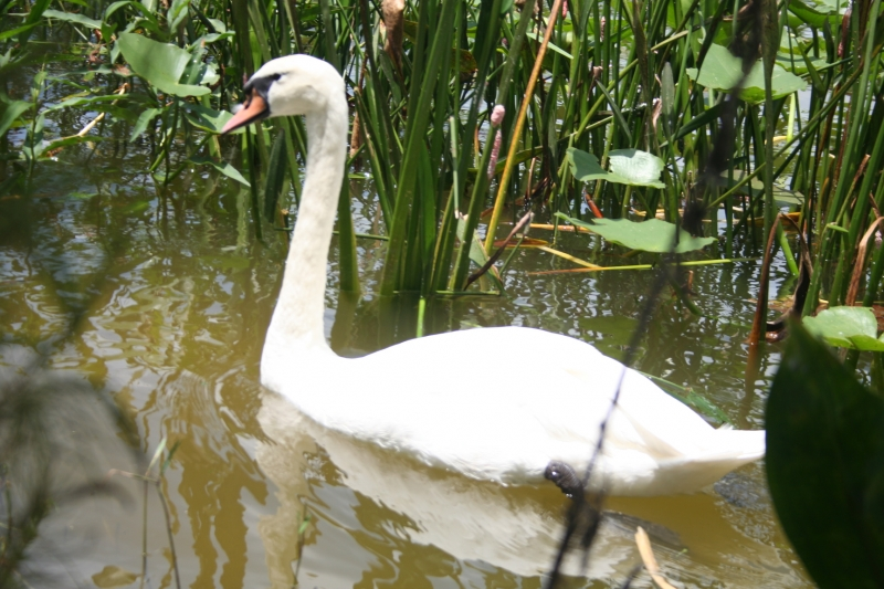 White Swan (swimming)