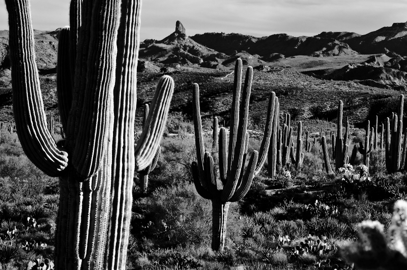 Forest Of Saguaros