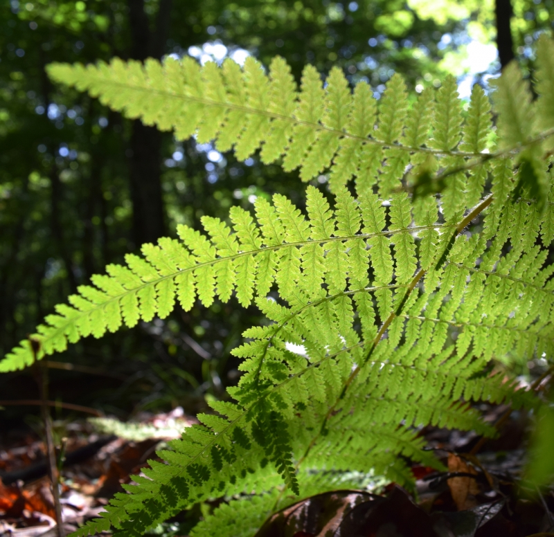 A Fern In The Forest