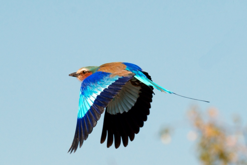 Violet Breasted Roller – Takeoff
