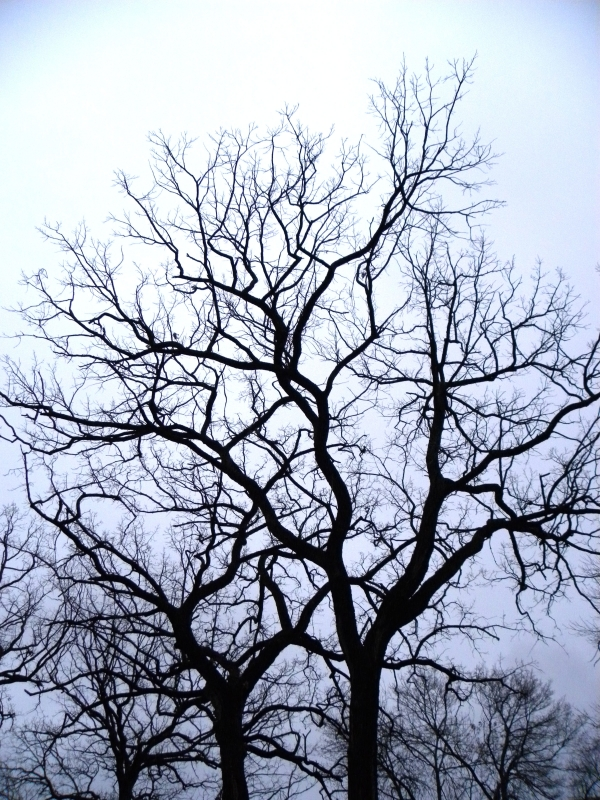 Winter Oaks In Fog