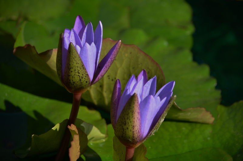 Purple Waterflowers