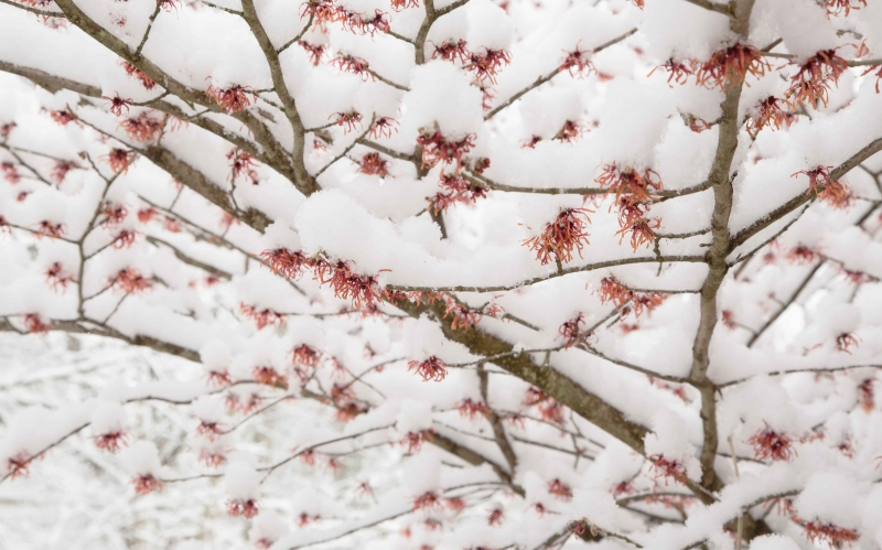 Snowfall On Witch Hazel Tree In Winter Bloom