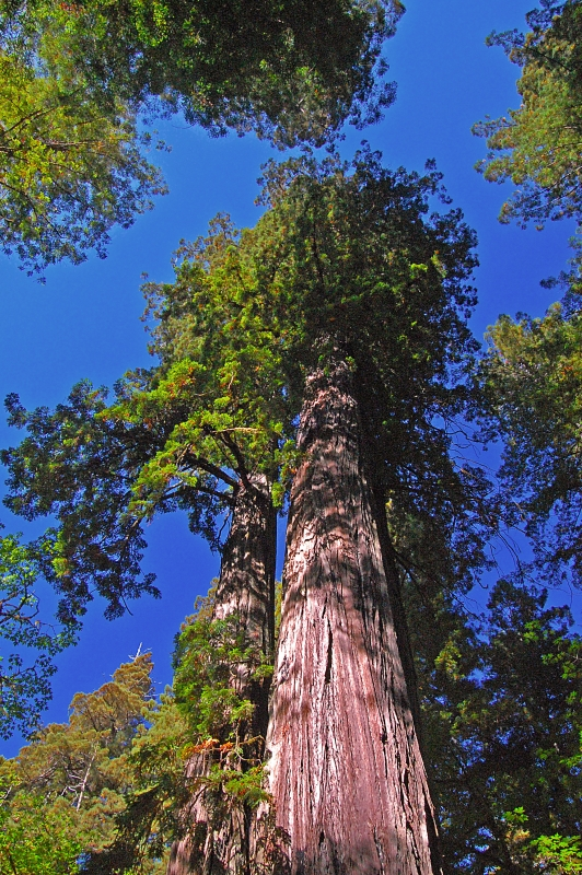 Redwood Tree Reaching To The Blue Sky