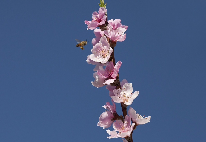 Peach Blossoms And A Bee