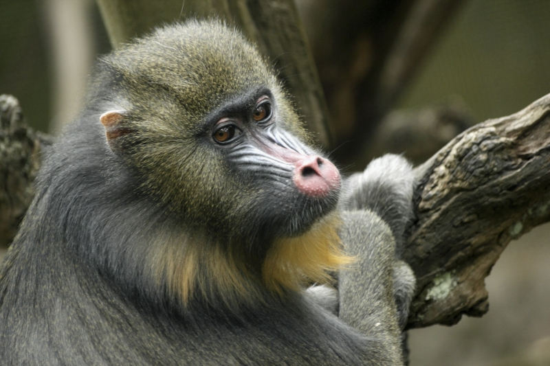Young Mandrill