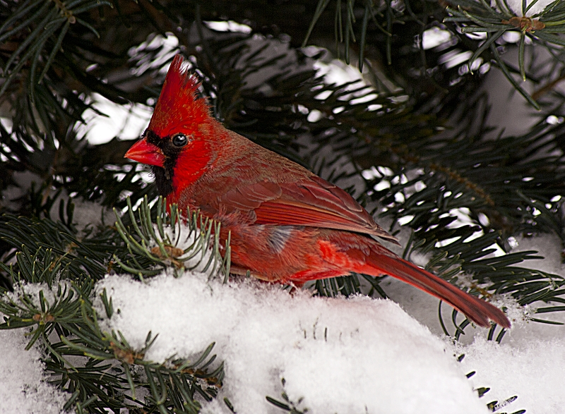 Cardinal Male On Snowy Branch