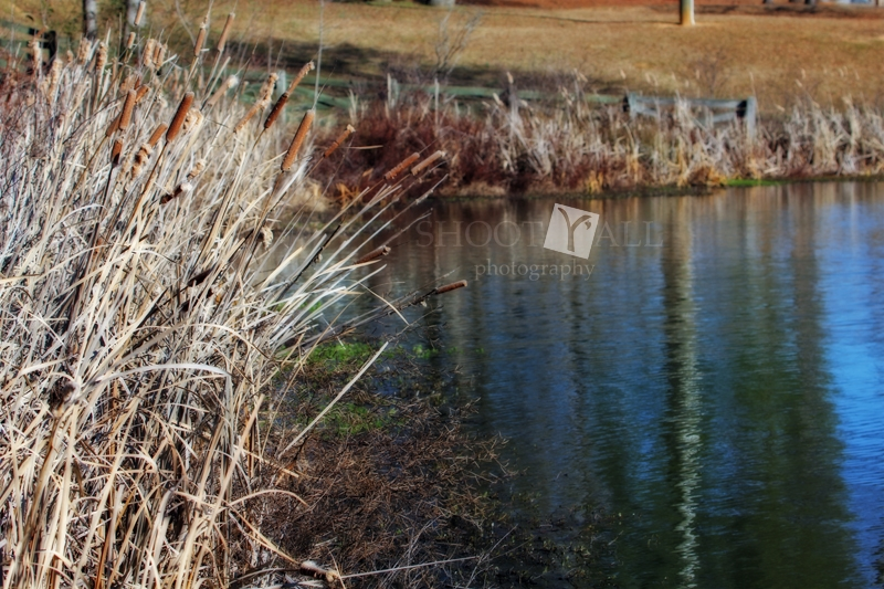 Cattail Sway