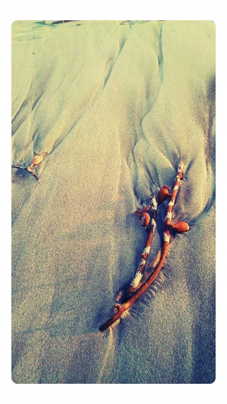 Sea Plant On The Beach