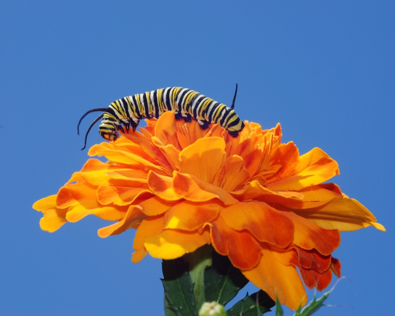 Monarch Caterpillar On Marigold