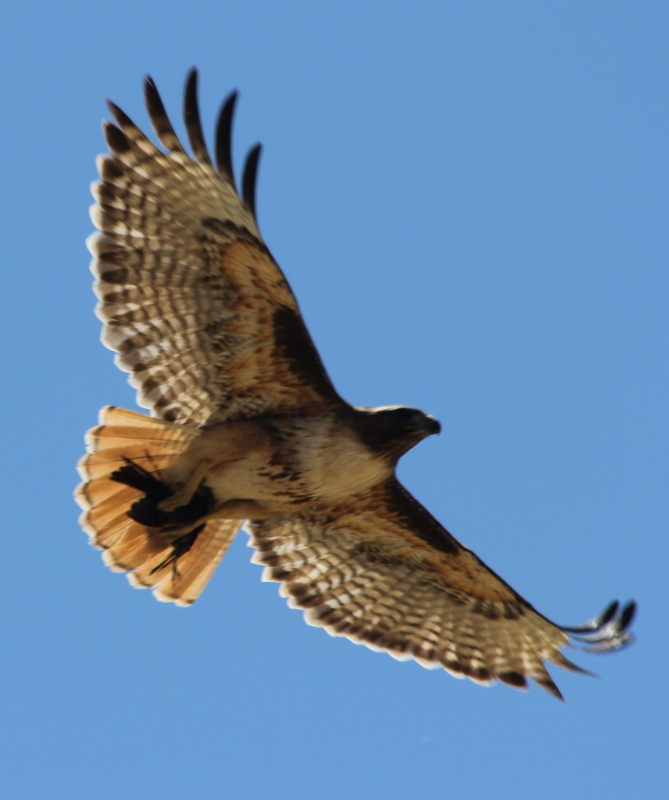 Red Tailed – Bird 'napper !!!!
