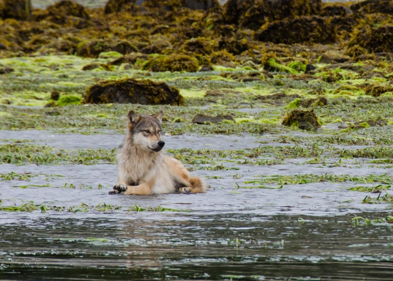 Outer Coast Wolf