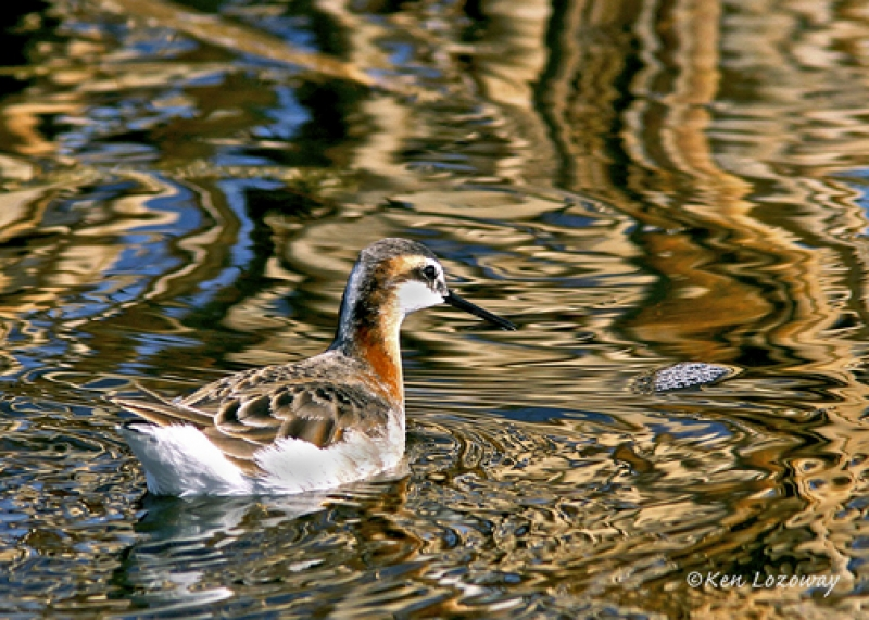 Wilson's Phalarope On Golden Pond