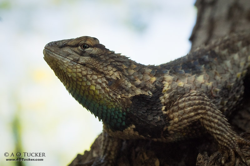 Eye Of The Spiny Lizard