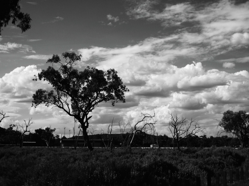 Coolibah Tree In Outback