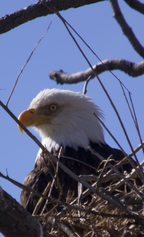 Eagle Standing Watch Over Its Nest