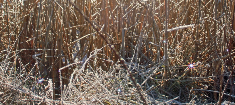 Frosted Cattails