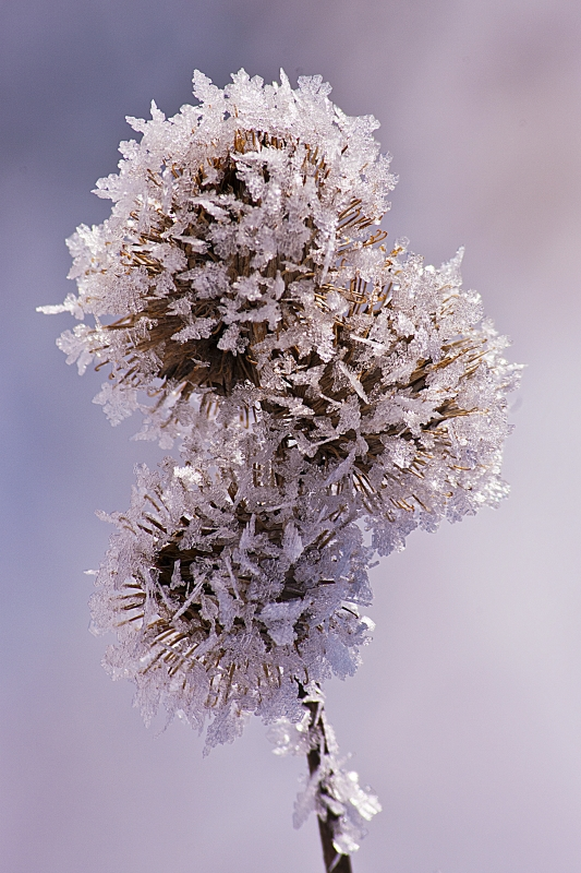 Frosty Burdocks