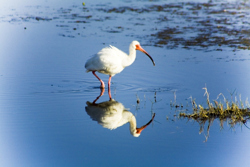 Ibis Reflections
