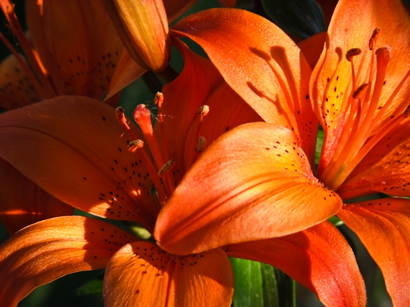 Early Morning Day Lillies