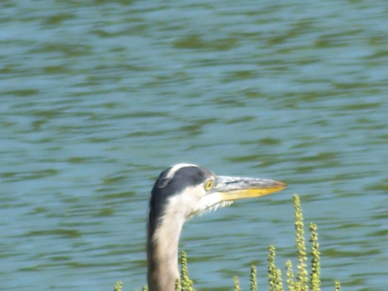 Peeking Blue Heron