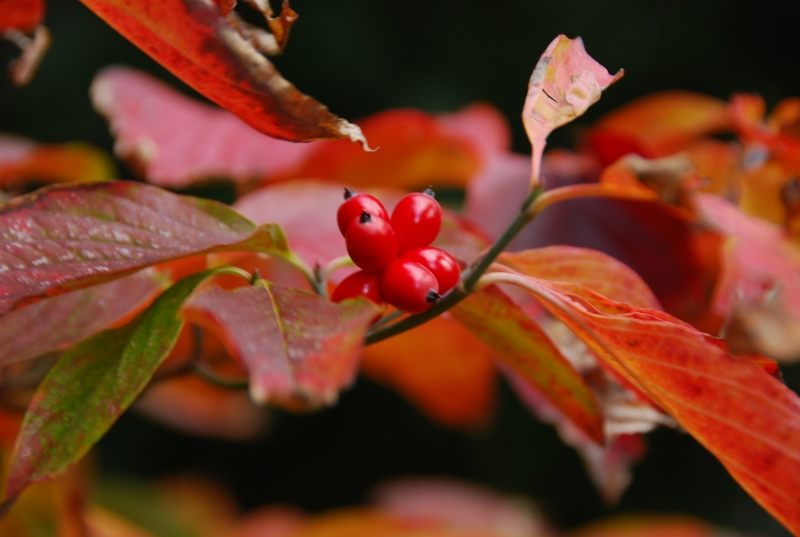 Autumn: Dogwood Berries