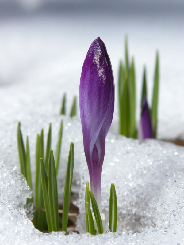 Crocus On Ice