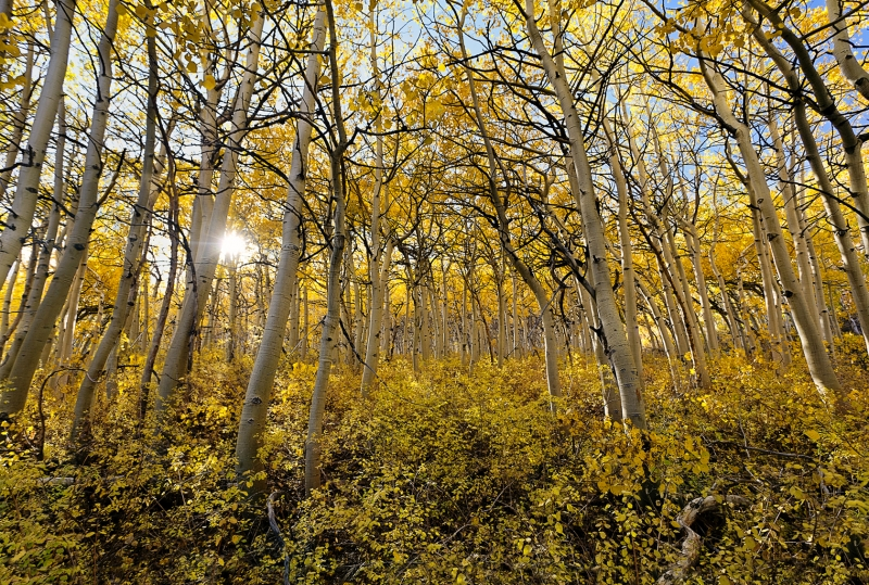 Golden Aspen Afternoon