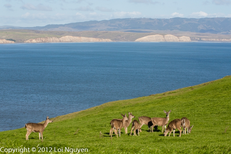 Deer Herd At Elephant Seal Overlook, Point Reyes