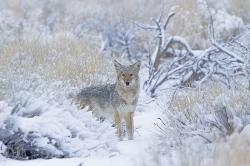 Coyote In The Cold