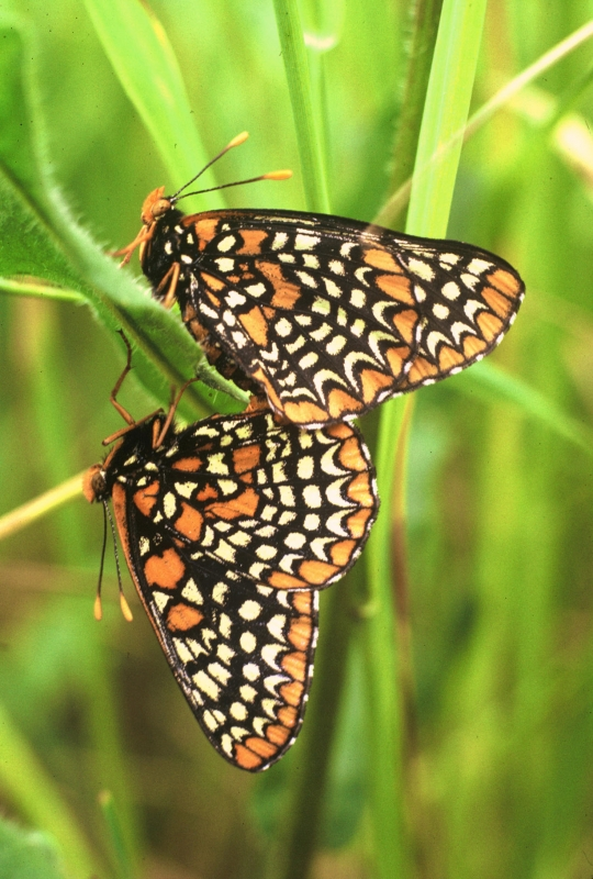 Baltimore Butterflies Mating