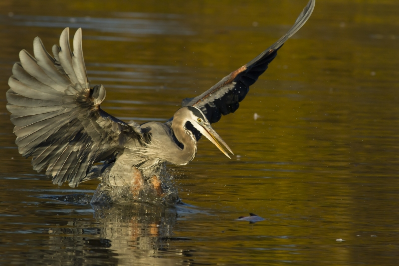 Great Blue Heron Pouncing On A Fish
