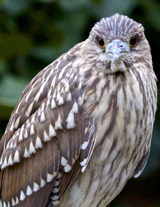Eye Contact With A Young Night Heron