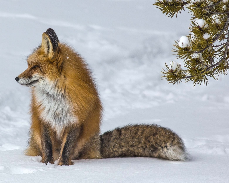 Fox On The Watch