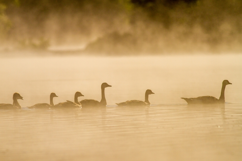 Canada Geese Silhouette
