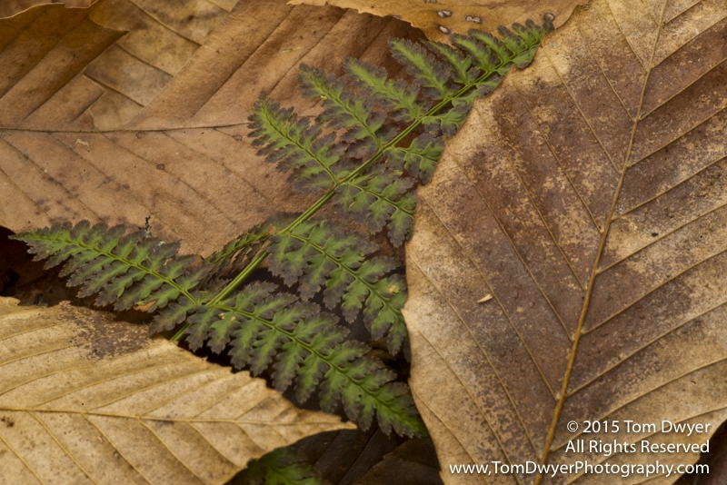 The Fern Leaf