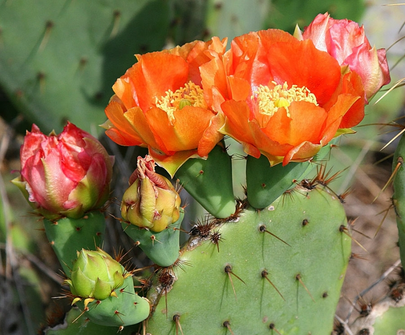 Prickly Pear With Progressing Blooms