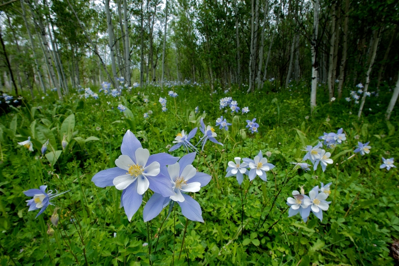 Blue Columbines And Birches