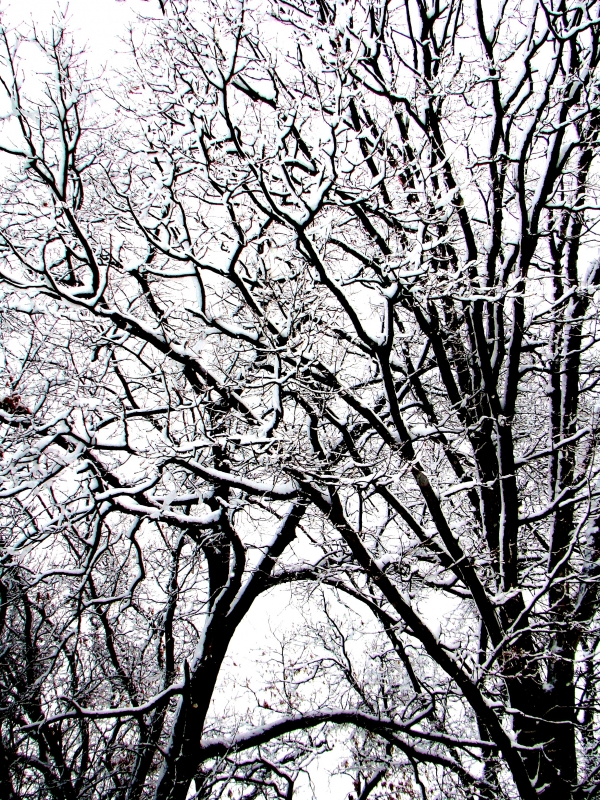 Trees With Snow