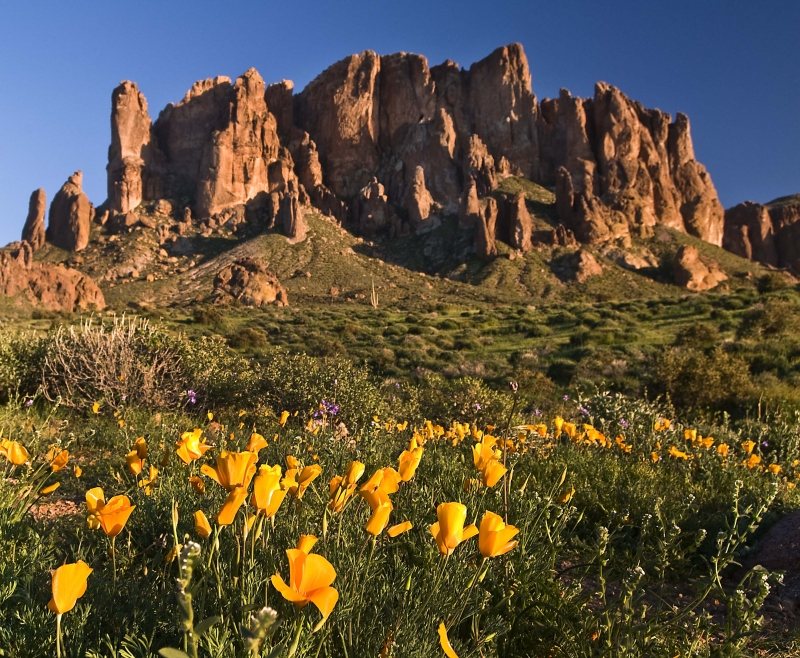 Lost Dutchman State Park Poppies
