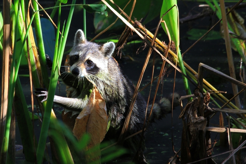 Raccoon In Search Of Food