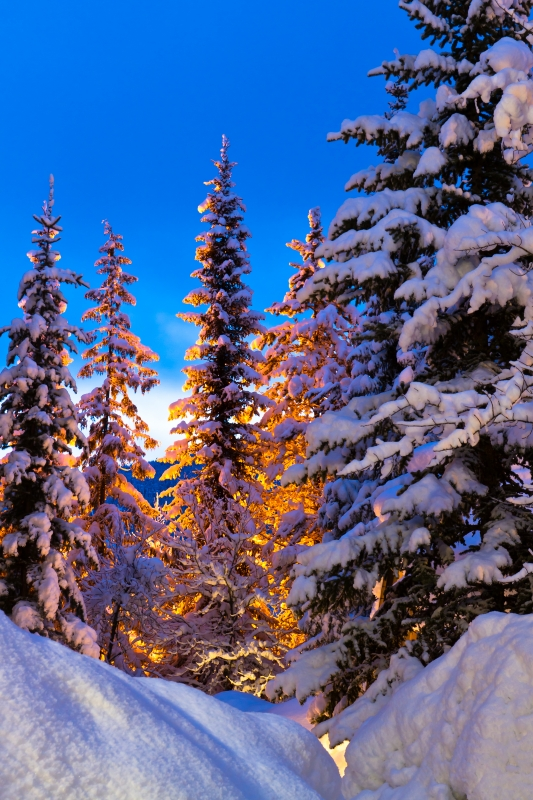 Snow Tree Glow At Dawn