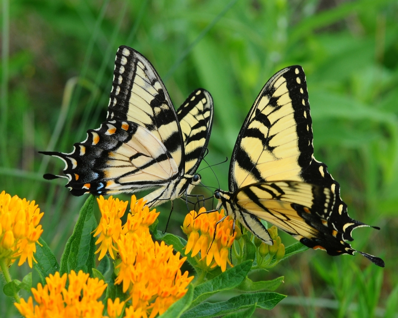 Swallowtails On Butterfly Weed